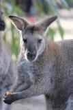 wallaby Immagini Stock Libere da Diritti
