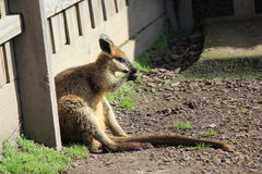wallaby Στοκ Εικόνες