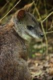 wallaby Стоковая Фотография RF