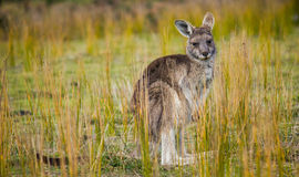 wallaby Images stock