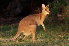 Wallaby agile photographie stock