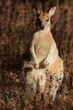 Wallaby agile Fotografia Stock Libera da Diritti