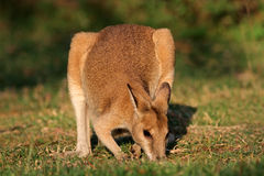 Wallaby agile Photographie stock libre de droits