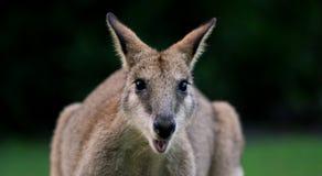 Wallaby agile photo libre de droits