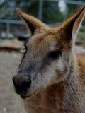 Wallaby agile joyeux sûr malfaisant dans la pose décontractée images libres de droits