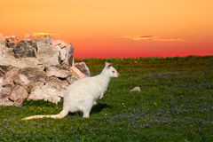 Wallaby. Albino sits on the meadow and looks in the sunset Royalty Free Stock Photo