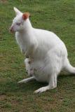 Wallaby albinos avec la chéri dans la poche Photo libre de droits