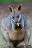 Wallaby alimentant Images stock