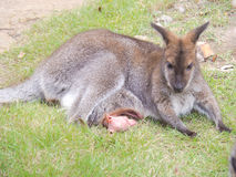 Wallaby. Royalty Free Stock Photography