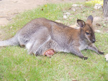 Wallaby. Stock Photo