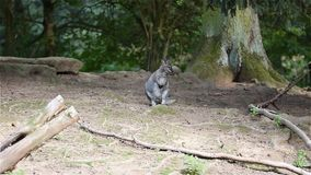 Wallaby animal latin name Macropus rufogriseus is sitting on the ground. Cute animal naturaly living in Australia and Tasmania. Wallaby animal latin name stock video