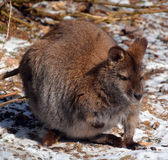 A wallaby Stock Photo