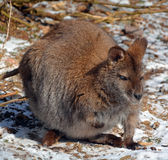 A wallaby Stock Image