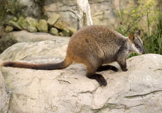 Wallaby auf Felsen Stockfoto
