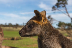 Wallaby in the Australian outback. Baby Wallaby posing in the Australian outback stock images