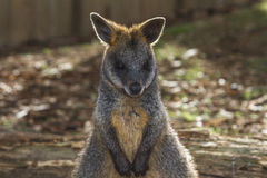 Wallaby in the Australian outback. Baby Wallaby posing in the Australian outback royalty free stock image