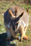 Wallaby australiano Foto de archivo libre de regalías
