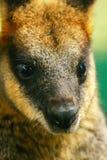 Wallaby australiano fotografia stock