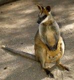 Wallaby australiano sveglio Immagini Stock