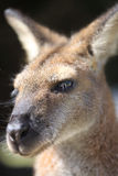 Wallaby australien Images libres de droits