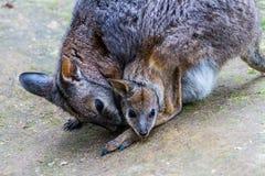 Wallaby avec Joey dans sa poche images libres de droits