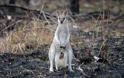 Wallaby avec le joey de chéri Images stock