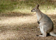 Wallaby and Baby. Wallaby with baby joey Stock Photos