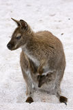 Wallaby on the Beach. A Wallaby on the Beach with a Joey Royalty Free Stock Images