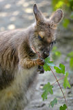 Wallaby of Bennet Stock Photos