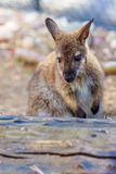 Wallaby Royalty Free Stock Photography