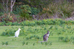Wallaby blanc à côté de wallaby coloré par normale Photographie stock libre de droits