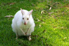 Wallaby blanc Photos stock