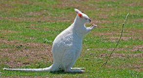 Wallaby blanc mâchant une brindille Photographie stock