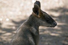 Wallaby boczny widok fotografia stock
