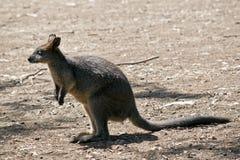 Wallaby boczny widok zdjęcie royalty free