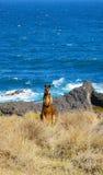 Wallaby brun sauvage par le bord de la mer dans Victoria, Australie Photos libres de droits