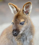 Wallaby close-up portrait, Australia Royalty Free Stock Images