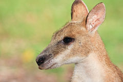 Wallaby. Close up portrait of a cute wallaby Stock Photo