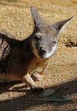 Wallaby royalty free stock image