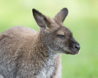 Wallaby closeup portrait Stock Image