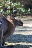 Wallaby collant sa langue Photos stock