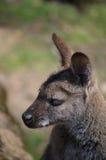 Wallaby con il collo rosso Immagine Stock Libera da Diritti