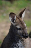 Wallaby con il collo rosso Immagini Stock