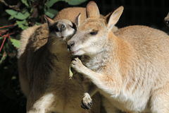 Wallaby Conversation Royalty Free Stock Photos
