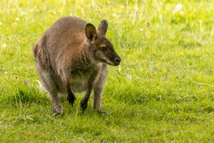 Wallaby crouched on back legs in field Royalty Free Stock Images