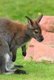 Wallaby dal collo rosso fotografia stock libera da diritti