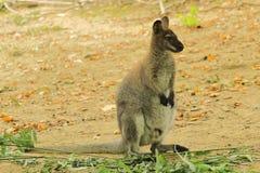 Wallaby dal collo rosso, anche il wallaby di Bennett, rufogriseu del Macropus Fotografia Stock