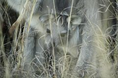 Wallaby dans l'herbe sèche à une ferme images stock
