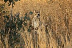 Wallaby dans l'herbe sèche à une ferme image libre de droits