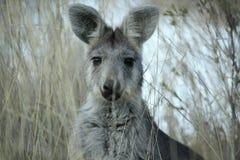 Wallaby dans l'herbe sèche à une ferme photo stock
